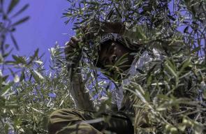 استمرار موسم قطف الزيتون في غزة