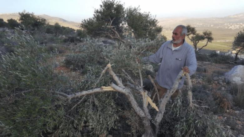 مستوطنون يحطمون 200 شجرة زيتون جنوب نابلس