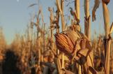 مزارع يدفن طفلين وهما أحياء بعد أن سرقا الذرة