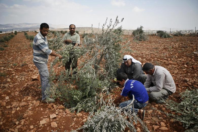 مستوطنون يسرقون ثمار الزيتون ويكسرون أغصانها جنوب شرق نابلس