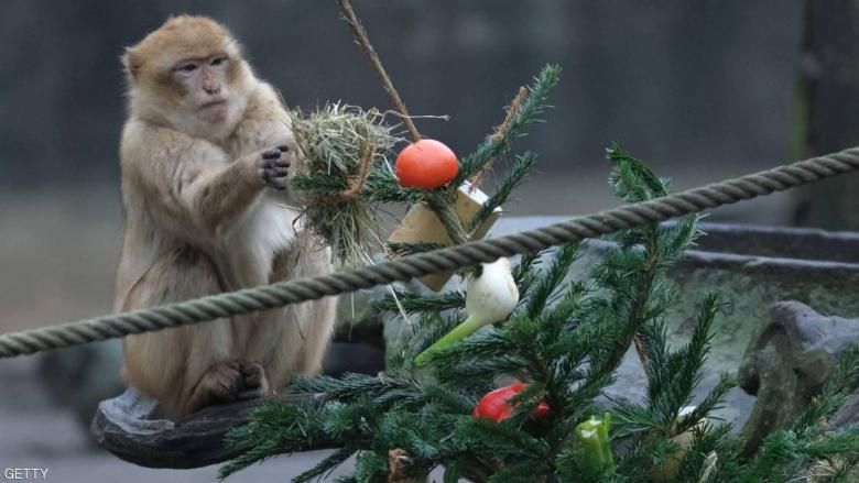 """أشجار عيد الميلاد تتحول إلى """"وجبة شهية"""""""