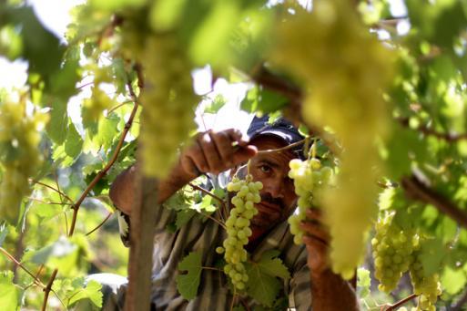 العنب يملأ أسواق غزة في موسم مميز وأكثر إنتاجية