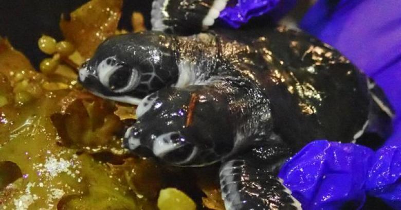 العثور على سلحفاة نادرة برأسين... وهذا ما يميزها عن كل من يشبهها
