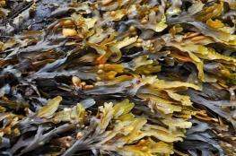 العلماء الروس يستخدمون الفطر البحري لعلاج للسرطان