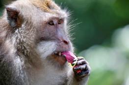 هذه القردة تتذكر الأشياء مثل الإنسان