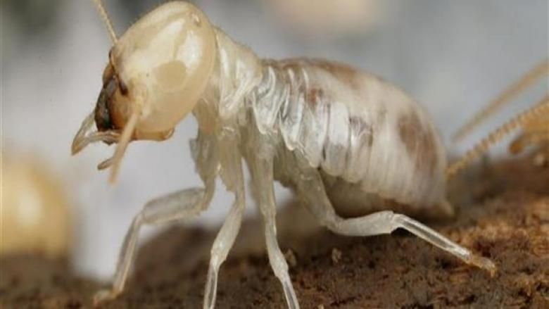 الكيان والنمل الأبيض