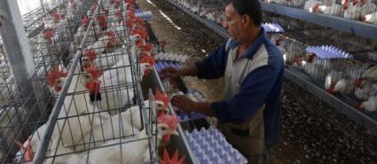 الزراعة تشرع بحملة توعية لمربي الدواجن بغزة