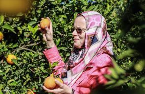 وزارة الزراعة بغزة تفتتح موسم الحمضيات