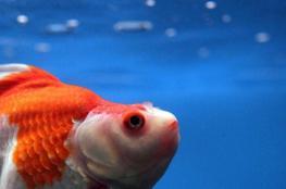 بطريقة مذهلة.. السمكة الذهبية تعيش من دون أوكسجين