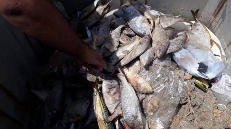 بلدية النصيرات تتلف 70 كيلو من أسماك الأرنب