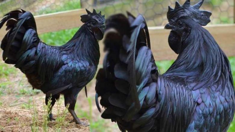الدجاج الأسود، ثمنه بالذهب وبيضه بالفضة!
