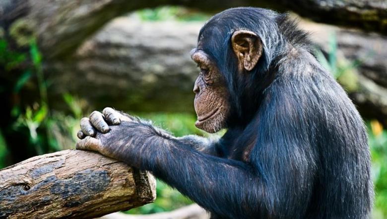 مثل البشر.. القردة قادرة على توقع أفعال الآخرين