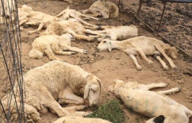 """الزراعة: الإعلان عن حملة تطعيمات ضد مرض """"الحمى المالطية"""" في الأغنام"""