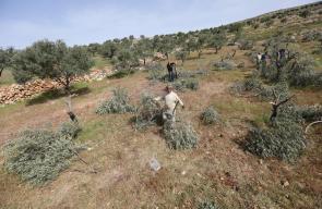 المقدسيون يتفقدون أشجار الزيتون التي قطعها المستوطنون