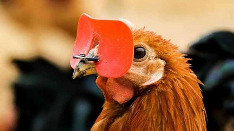 93d642e19d422 لماذا كان المزارعون يُلبسون الدجاج نظارات في الماضي؟ - فلسطين الآن