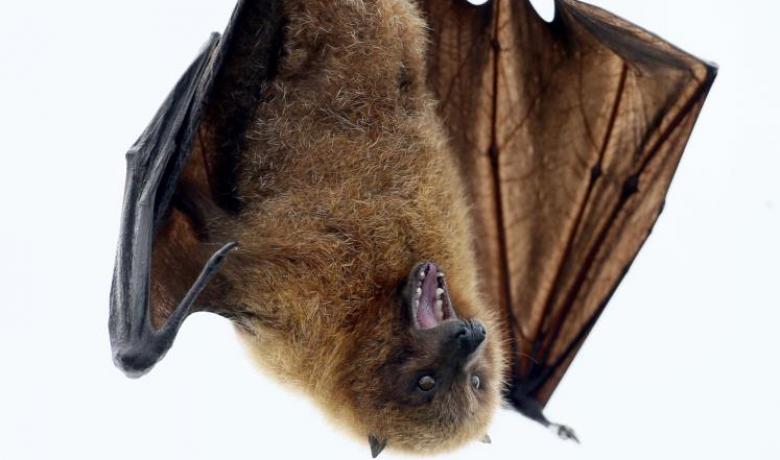 دراسة: اللوكيميا بدأت في الخفافيش قبل 45 مليون عام