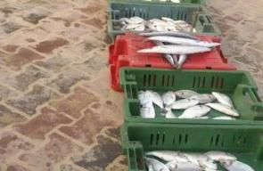 بعد إغلاق البحر لثلاثة أيام من قبل الاحتلال.. عادت الأسماك لشباك الصيادين