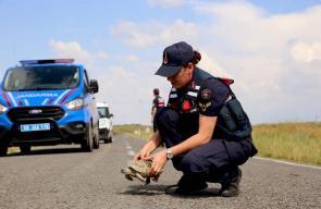 الشرطة التركية تسير دوريات لحماية السلاحف من خطر السيارات