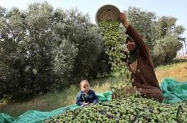 جني الزيتون وصناعة زيته جزء من تاريخ قطاع غزة