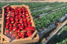 الزراعة: زيادة بالمساحات المزروعة بالتوت الأرضي لهذا الموسم مقارنة بالعام الماضي