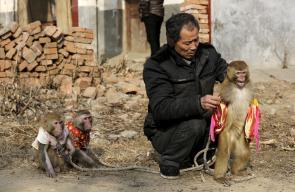 القرود وسيلة للربح
