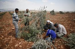 مستوطنون يقطعون عشرات أسجار الزيتون شرق رام الله