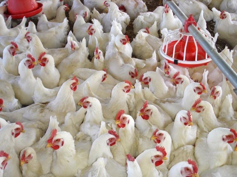 أسعار الدجاج اليوم الاثنين في غزة