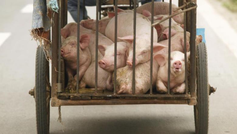 فيتنام تعدم 2.5 مليون خنزير