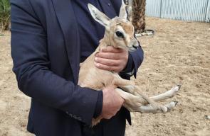 مواطن من غزة يحوّل بيته حديقة لتربية غزلان الريم الصحراوية