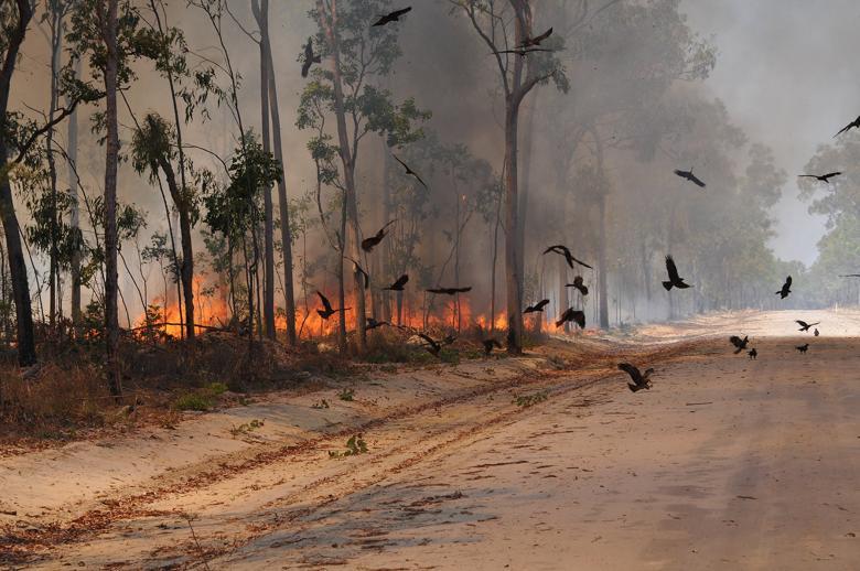 تعرف على الطائر الشرير المسبب لحرائق أستراليا