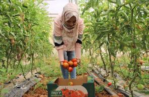 جامعيات يعملن في زراعة البندورة ببلدة بيت أمر بالخليل