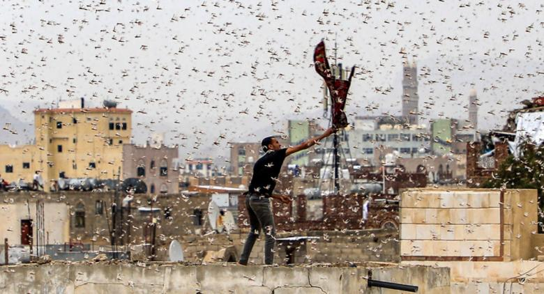 استنفار في السعودية بعد غزو كبير لأسراب جراد قادمة من اليمن