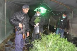 """ضبط 3500 شتلة """"ماريجوانا"""" في بلدة سعير"""