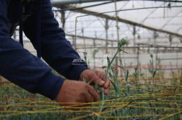 """تقلص كبير في مساحة زراعة """"الورود"""" في غزة"""