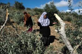 مستوطنون يحطمون أشجار زيتون جنوب شرق نابس