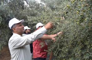 بلدية النصيرات تشارك سكان المخيم قطف الزيتون