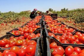 الزراعة: وقف تصدير البندورة والخيار لخفض سعرها محليا