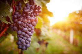 العنب فاكهة خارقة في محاربة الشيخوخة
