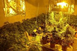 """شرطة نابلس تضبط مُستنبتا لزراعة """"الماريجوانا"""""""