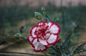 زراعة الورد في غزة