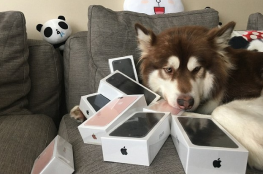صيني يشتري 7 أجهزة آيفون ليهديها لكلبه