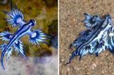 التنين الأزرق.. مخلوق بحري نادر يظهر على شواطئ أستراليا
