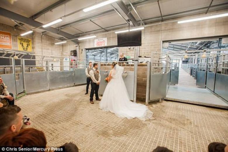عروس تحتفل بزفافها في سوق الماشية تقديراً لمهنة زوجها