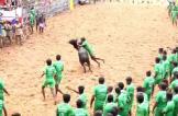 مصرع شخصين مع عودة ترويض الثيران إلى الهند