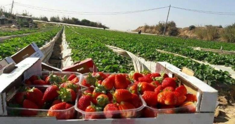 """150 ألف دولار خسائر مزارعي غزة جراء إغلاق """"كرم أبو سالم"""""""
