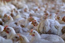 ضبط 6500 دجاجة مهربة من المستوطنات في رام الله