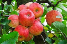 تفاحة واحدة يومياً تحميك من 5 أنواع سرطان