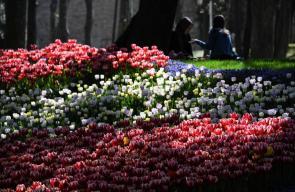 أزهار التوليب في حديقة جولهان باسطنبول