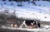 حصان يداعب مجموعة من الذئاب