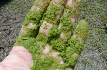 طاقة كهربائية من الطحالب الخضراء